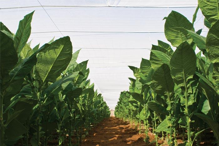 Coltivazione tabacco cubano tapado